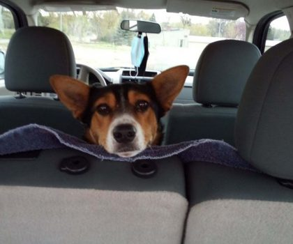 Cattle Dog in car looking over backseat